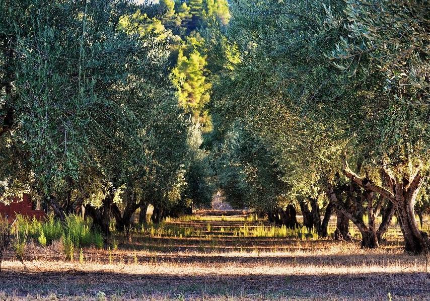 alberi olive